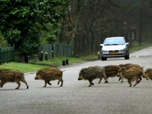 Zorgen om dichterbij komen varkenspest door wilde zwijnen