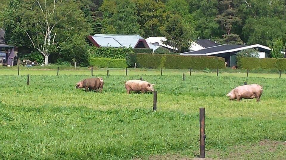 Varkens in de wei bij boer Richard (25)