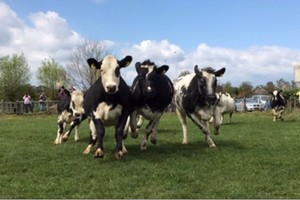 Dansende koeien 4 mei Boerderij Nieuw Bureveld