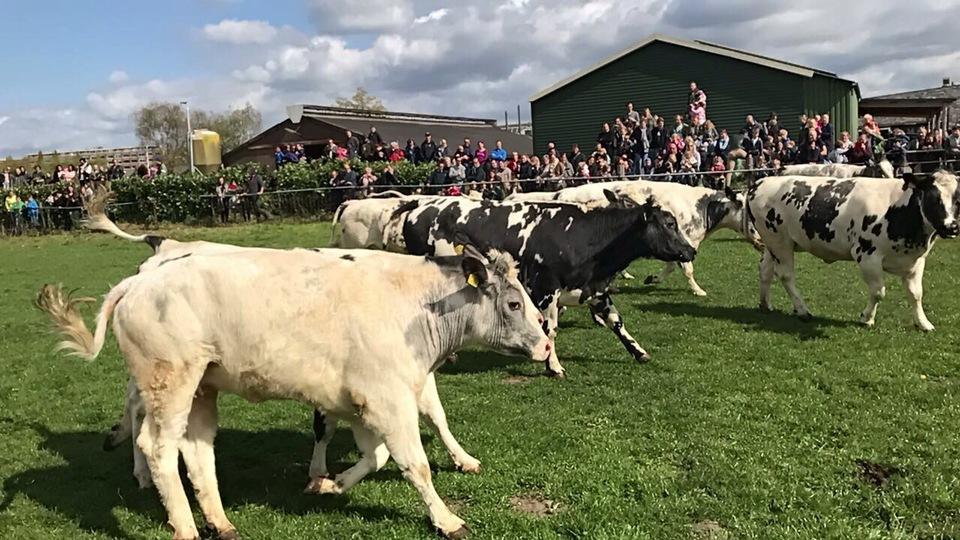 Dansende koeien in de Bilt
