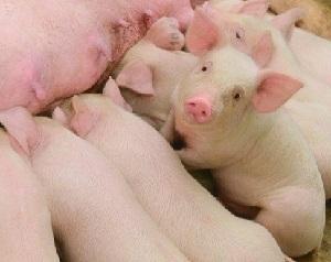 NVV: 'Varkenshouder streeft juist naar big-overleving'